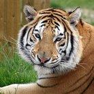 tigers at noah's ark zoo