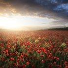 poppy field sunset somerset